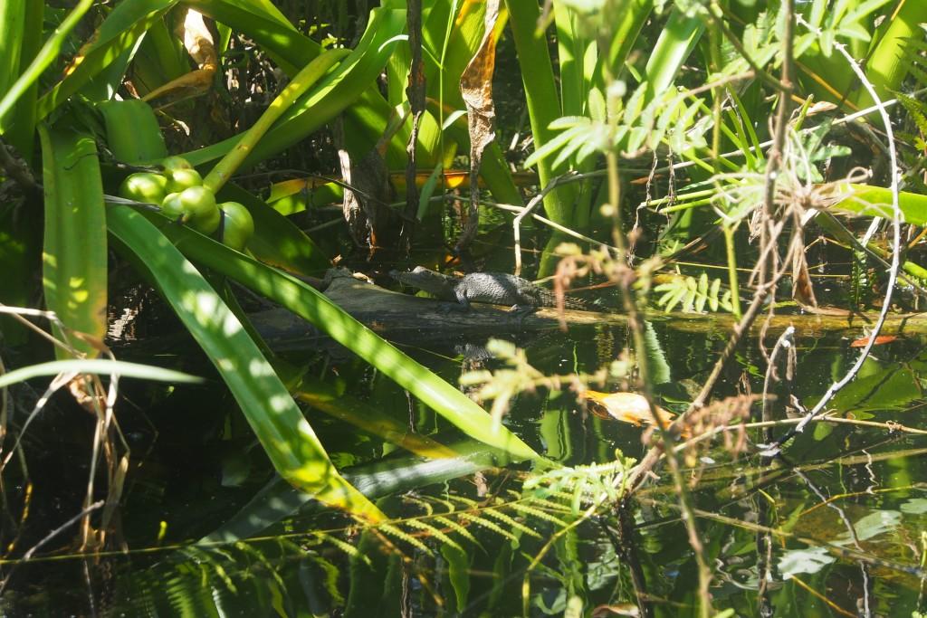 Wenn dieses mexikanische Krokodil groß ist, würde es gerne Karl Moik kennen lernen.